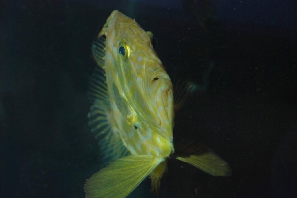 Standard st. petersfisk 40649