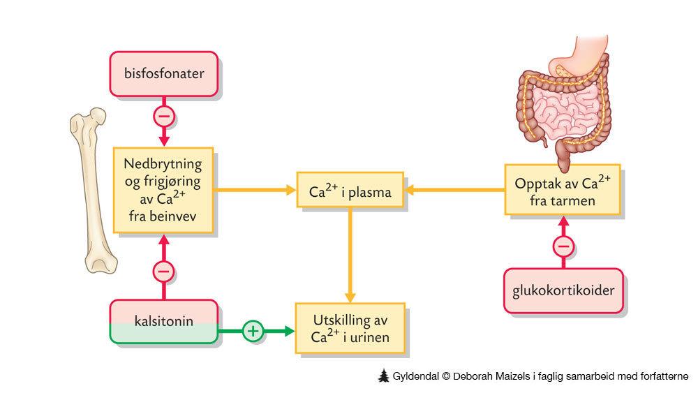 kalsium i kroppen