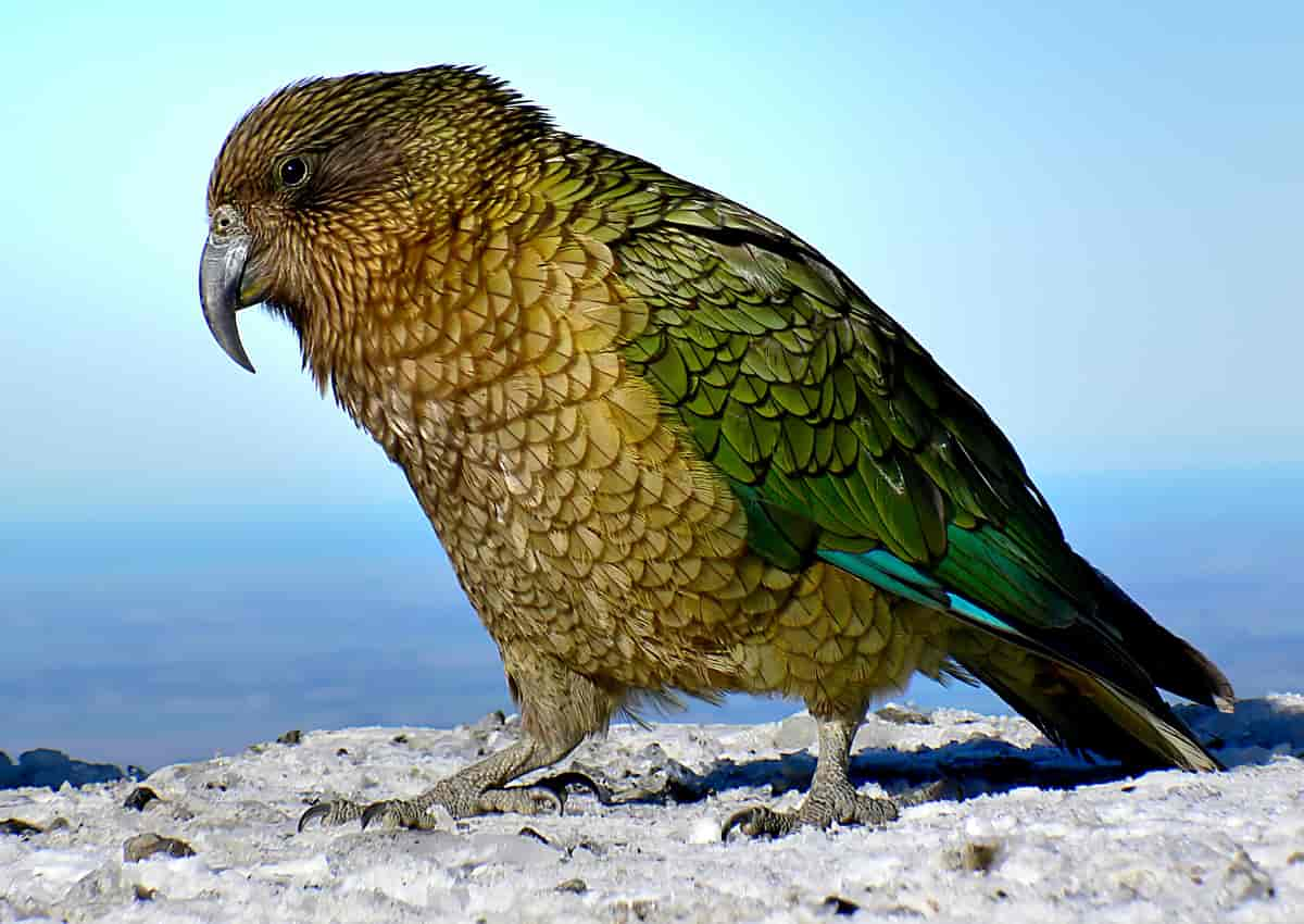 Dyr i zealand farlige new Dyreliv på
