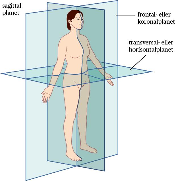 Standard kroppens plan