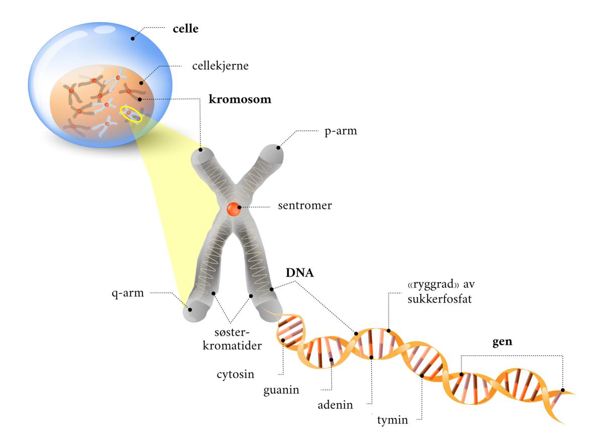 Standard dna gen