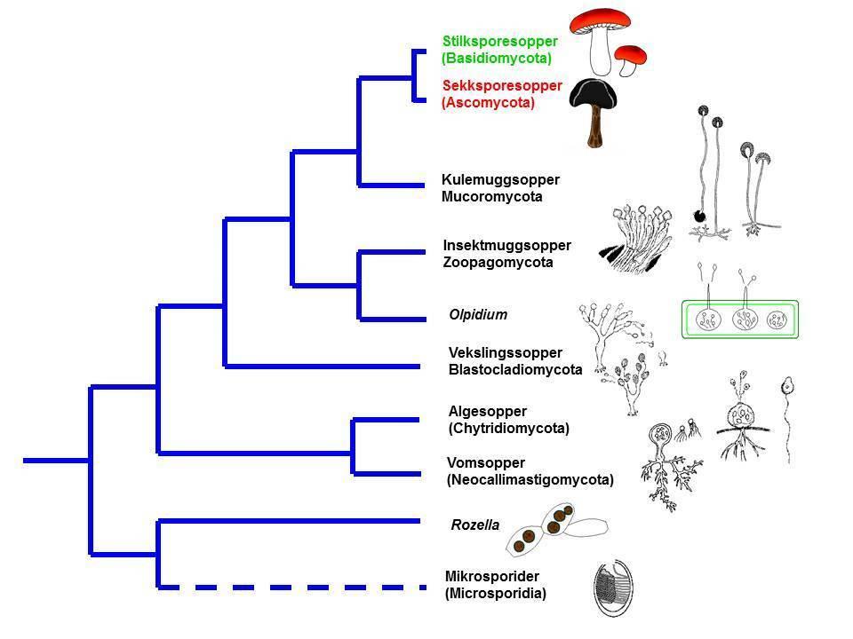 Standard bio1200 mykologi intro forelesn ny