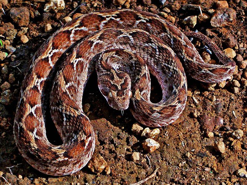 Standard saw scaled viper  echis carinatus  photographed by shantanu kuveskar 1