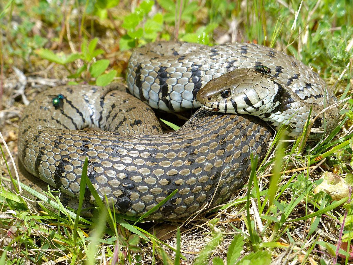 Standard grass snake  natrix natrix helvetica  after a copious meal  14175223381
