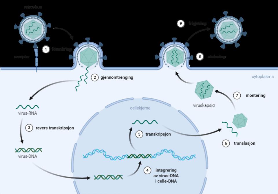 Standard retrovirus