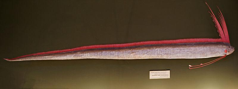 Standard regalecus glesne naturhistorisches museum wien
