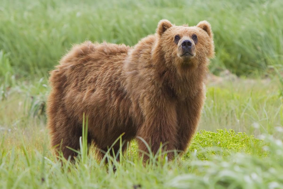 Standard 2010 kodiak bear 1