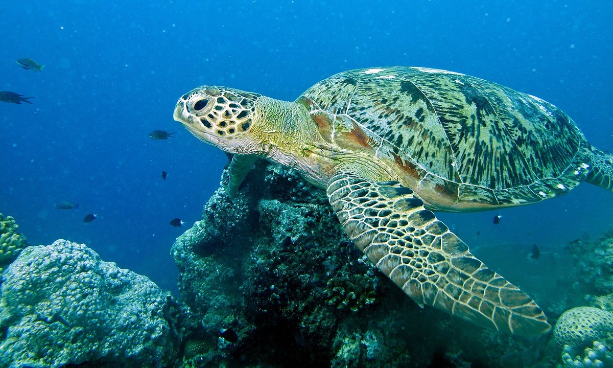 Standard 1600px green turtle  chelonia mydas   6133097542