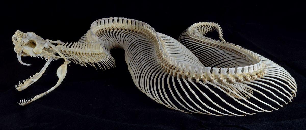 Standard bitis gabonica complete skeleton