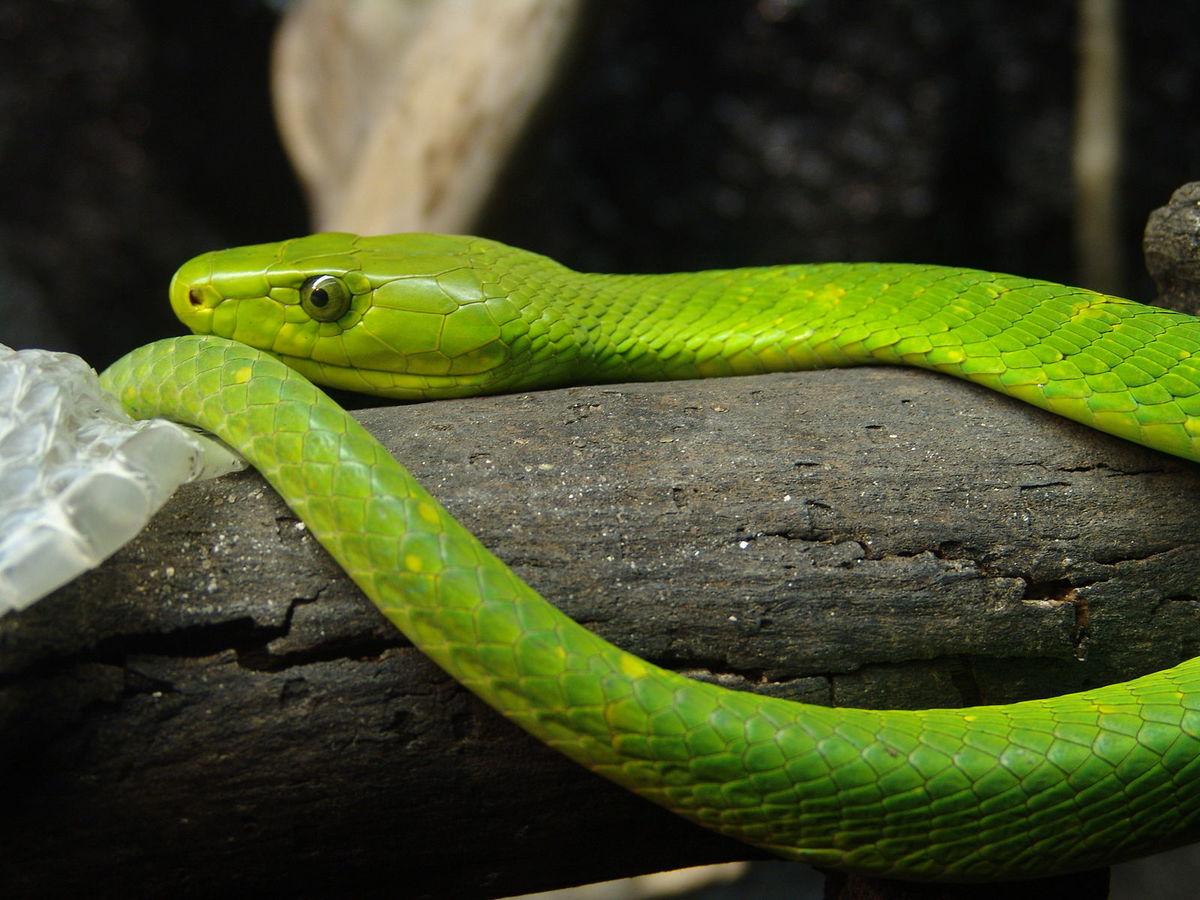 Standard eastern green mamba 02