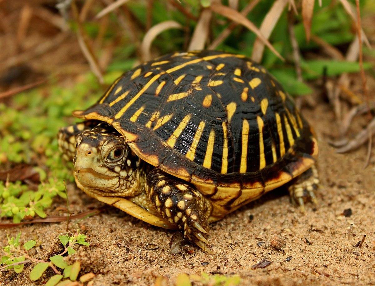 Standard 1574px ornate box turtle  terrapene ornata   29905668306