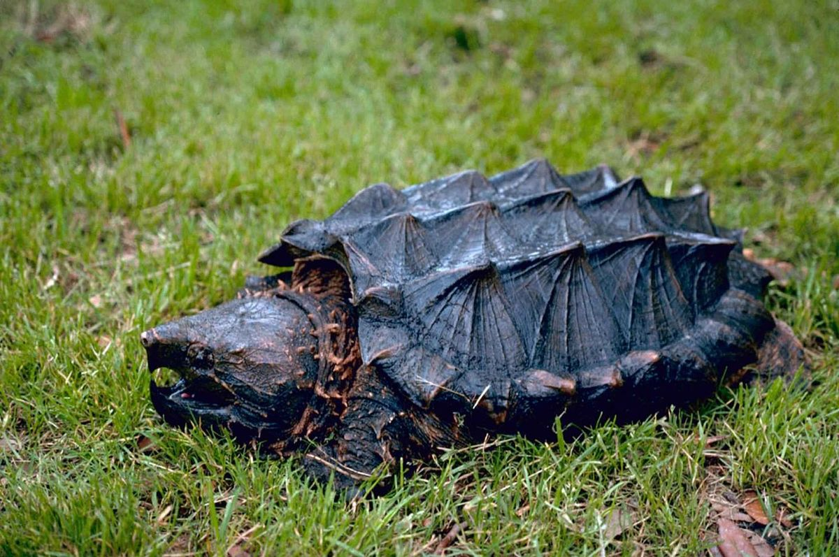Standard alligator snapping turtle  1