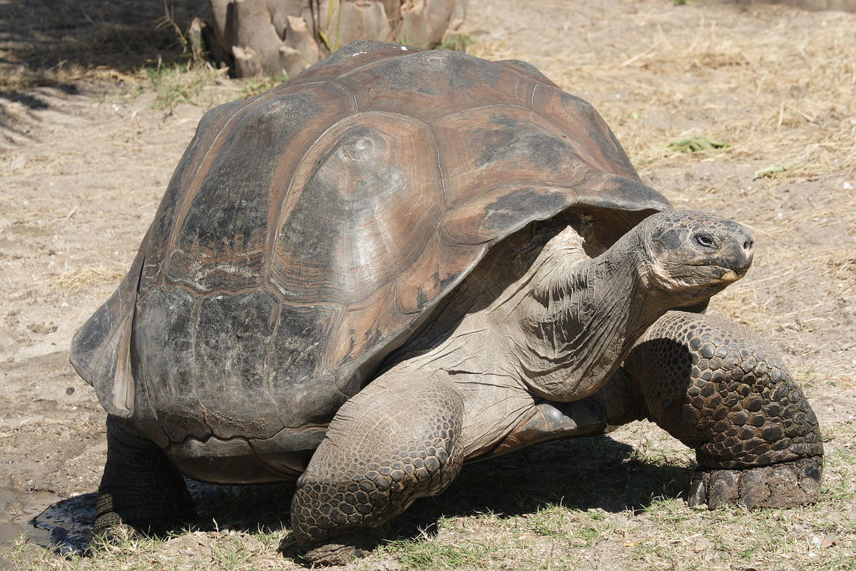 Standard galapagos giant tortoise geochelone elephantopus