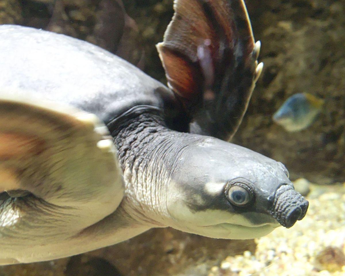 Standard carettochelys insculpta la zoo