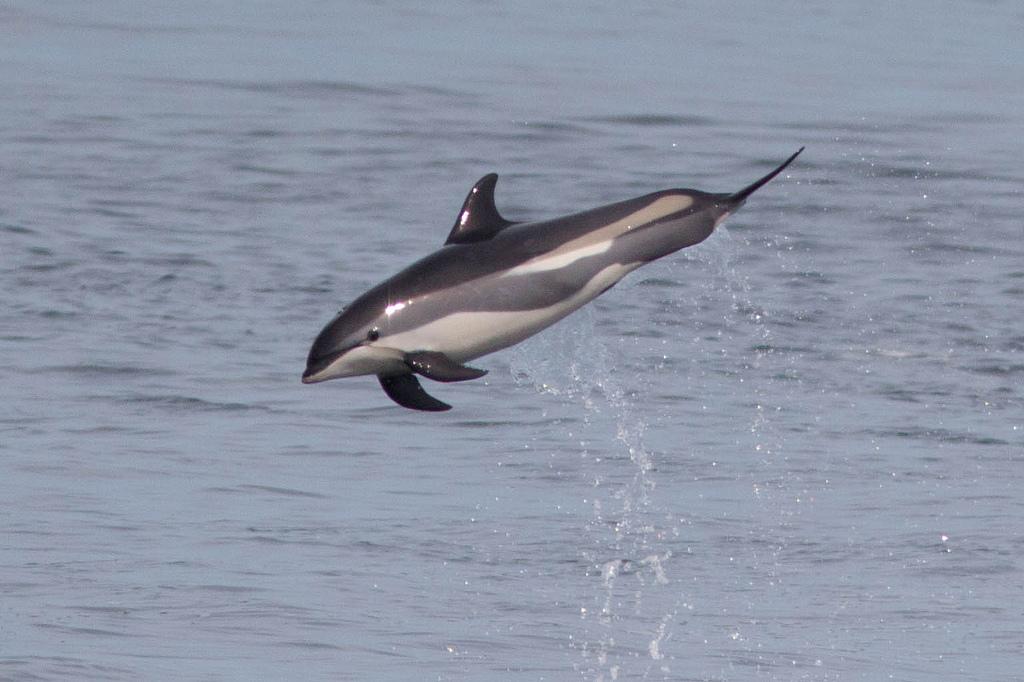 Standard atlantic white sided dolphin