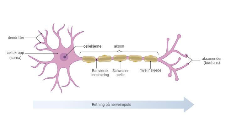 Standard nervecelle