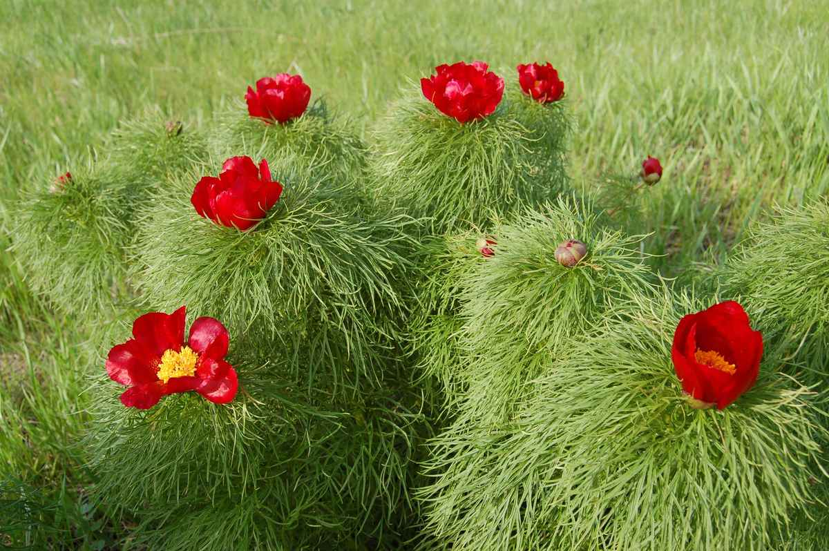 Standard paeonia tenuifolia