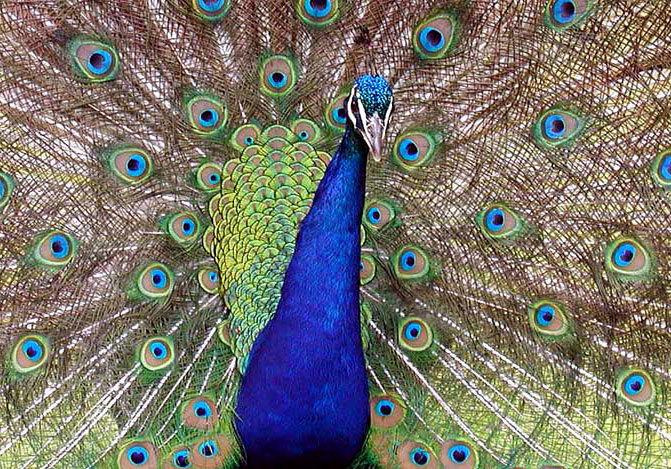 Standard peacock closeup