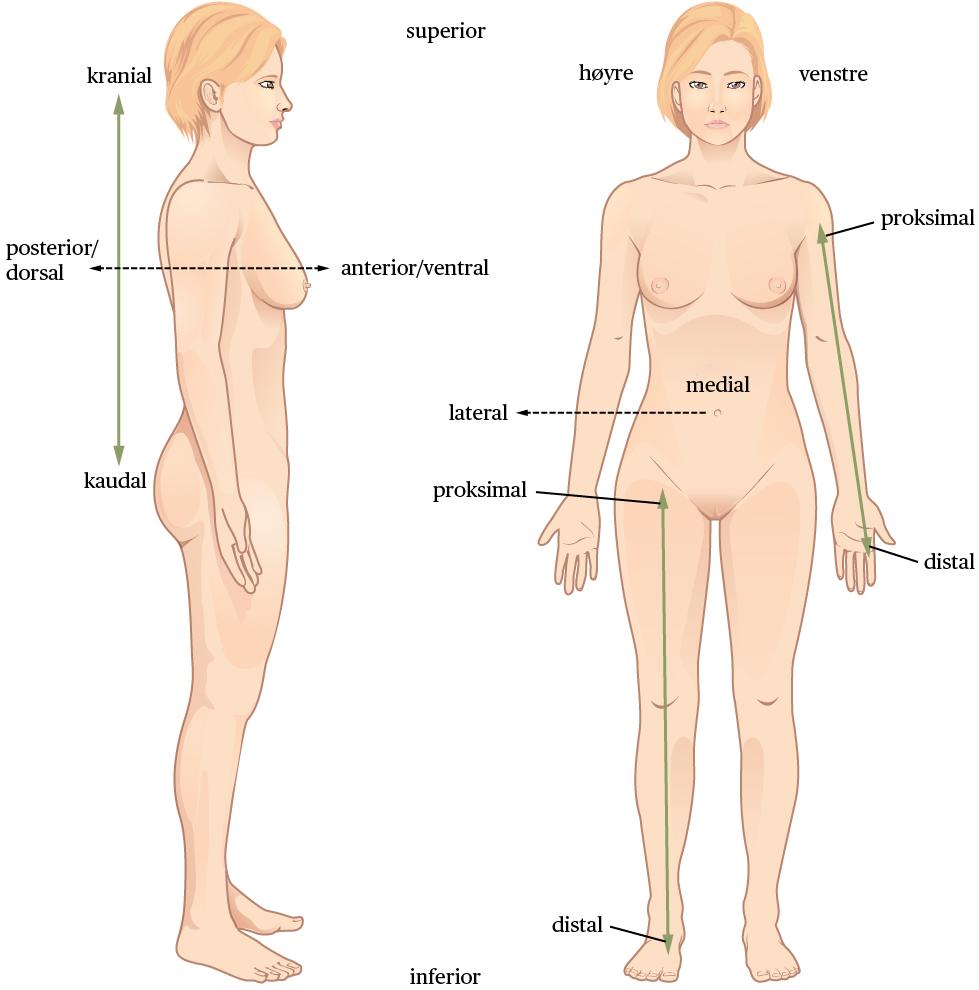 Standard anatomisk orientering