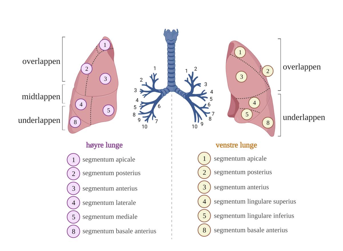 Standard lungesegmenter