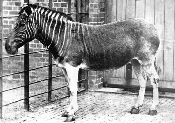 Standard quagga photo