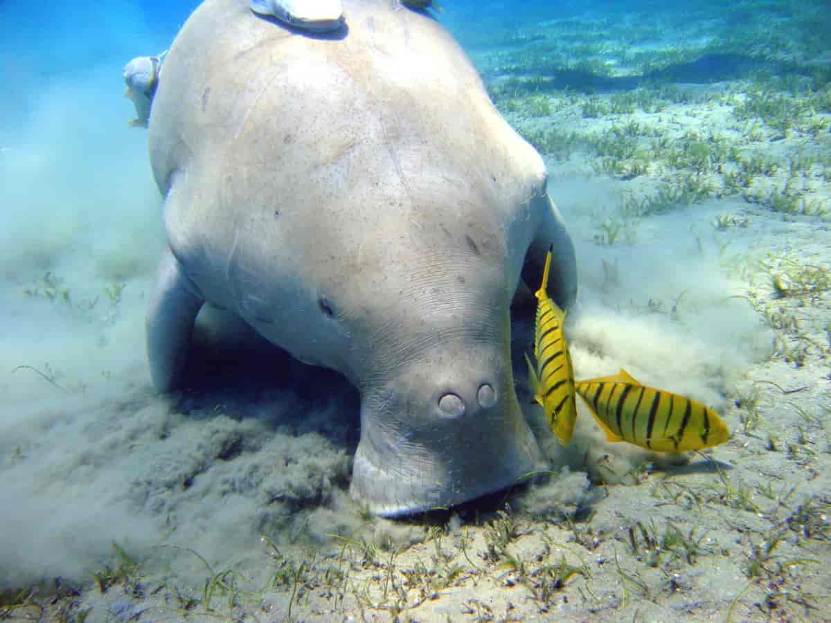 dugong – Store norske leksikon