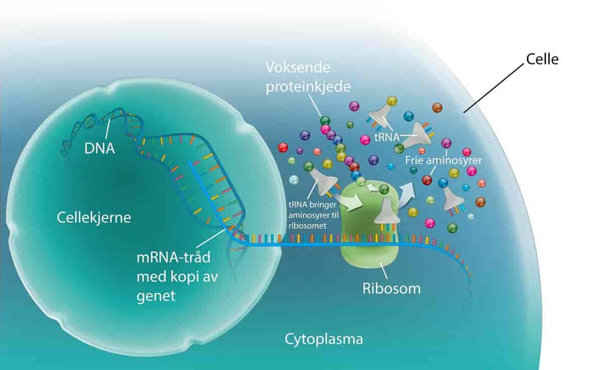 hvordan dannes proteiner i cellen