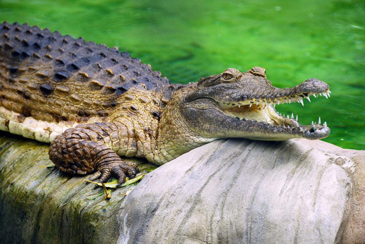 Standard 1280px freshwater crocodile at lone pine koala sanctuary 1