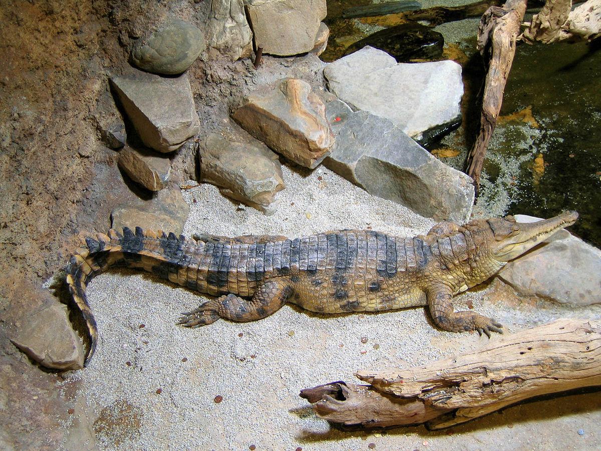 Standard 1280px crocodylus cataphractus faux gavial d afrique2 1