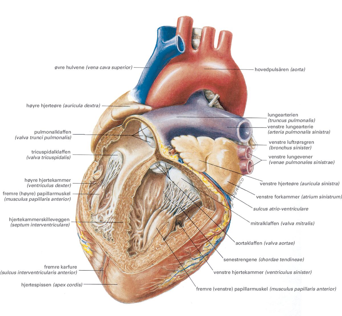 Hjerte På Latin