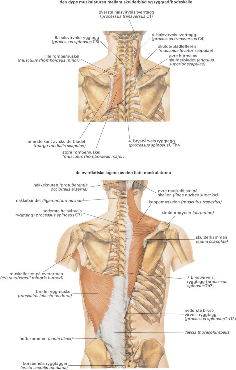 nedre delen av ryggen