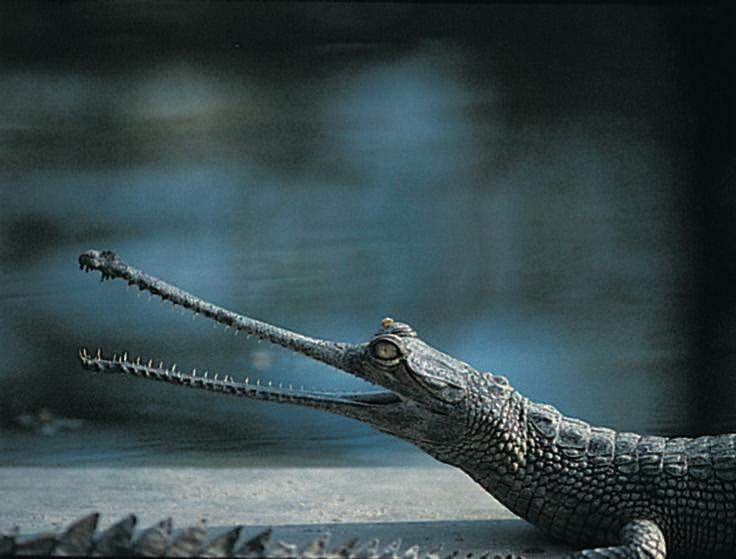 Standard gavialer