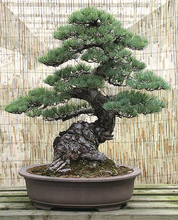 Standard japan bonsai