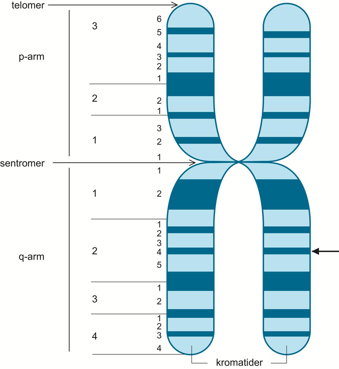 enhet i kromosom