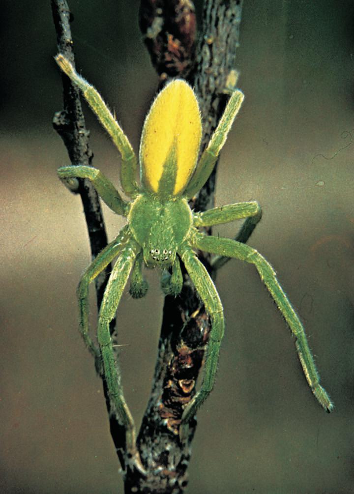 Giftige Edderkopper