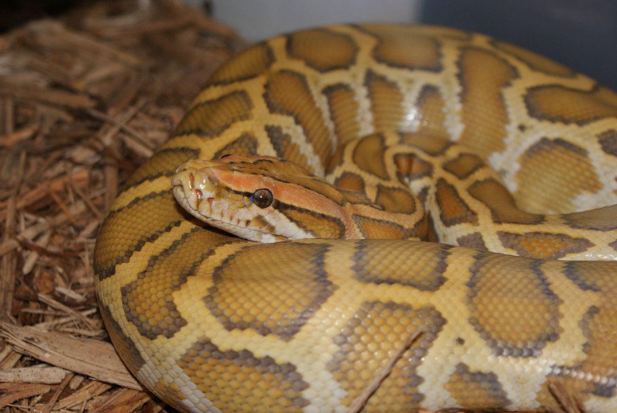 Standard 1920px caramel burmese python 1
