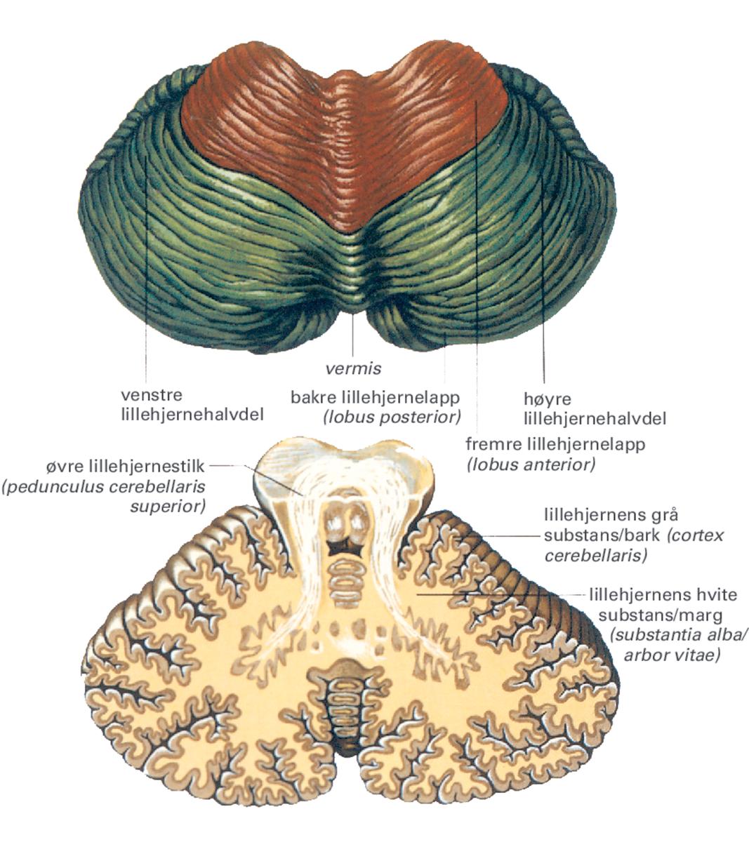 Standard 3 hjerne 5