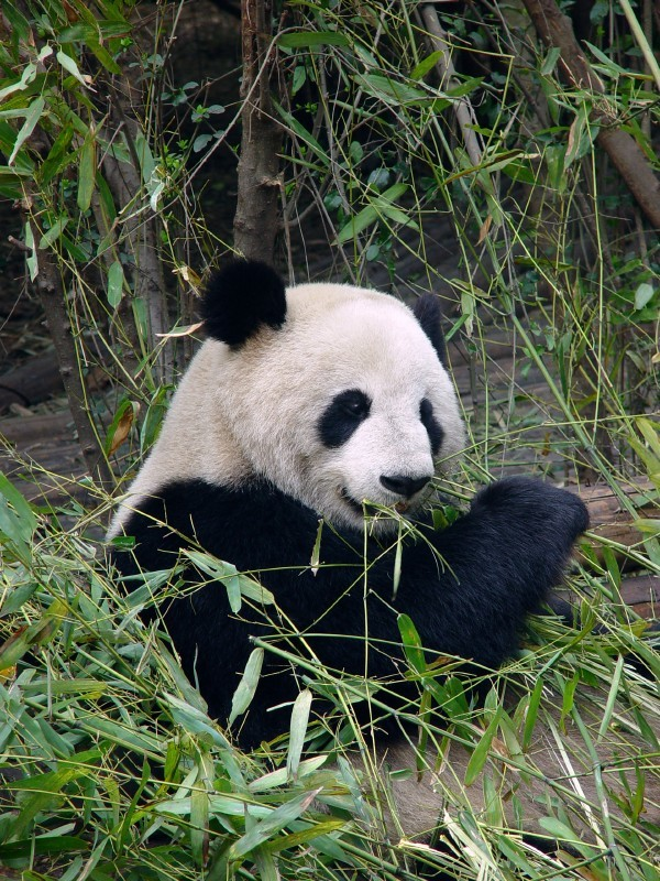 Standard kina panda