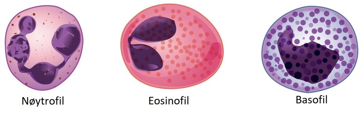 Standard granulære leukocytter