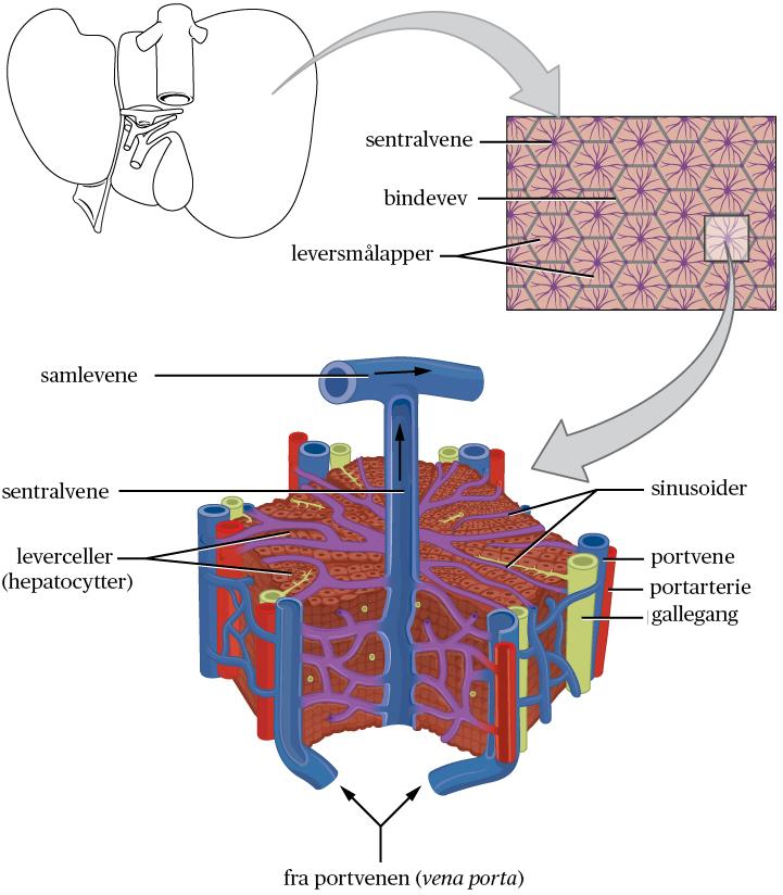 Standard lever mikroskopisk