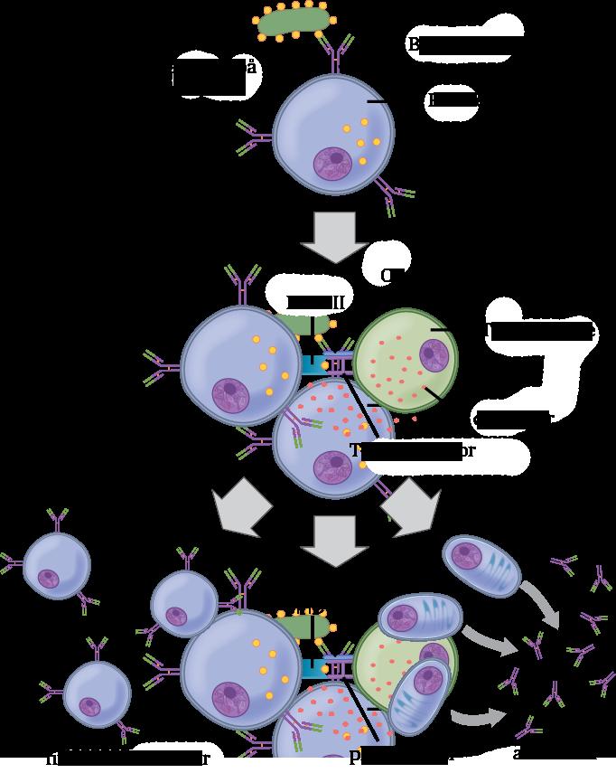 Standard immunceller b celler t celler mhc plasmaceller antistoff
