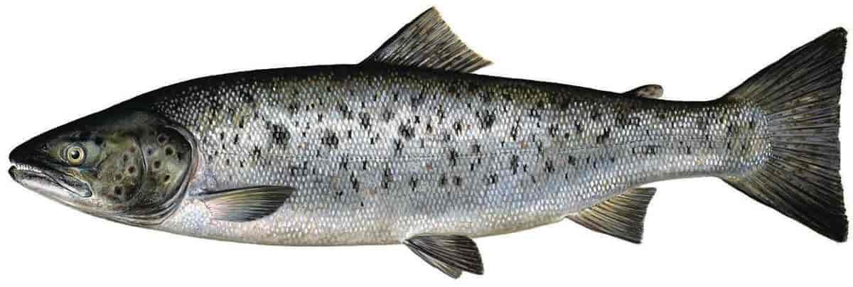 ørret fisk